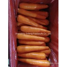 Carotte rouge fraîche en Chine