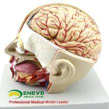 BRAIN04 (12401) Seção de Anatomia Médica de Cabeça com Cérebro, 4 Partes, Modelos de Cérebro 12401