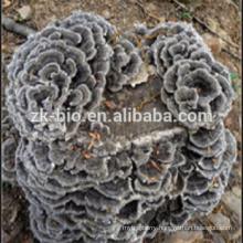 GMP factory organic cloud mushroom extract powder