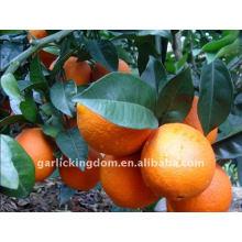 Orange price/Wholesale orange/Mandarin orange price