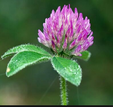 The Benifit of Red Clover Extract CAS 85085-25-2