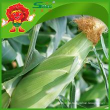 Maíz dulce congelado con maíz libre de contaminación de alta calidad