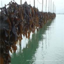 Kelp cortado ou em pó