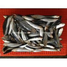 W / R Small Especificación Pescado fresco de sardina congelada para conservas