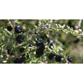 Plantado Black Wolfberry Small Grains