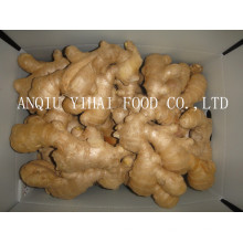 Good Quality Fresh Ginger in China