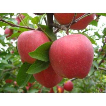 bulk fresh red apples