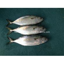 Fresh Frozen Indian Mackerel Fish