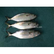 Fresh Frozen Indian Mackerel Fish