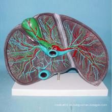 Menschliche Leber Anatomie Medizinische Lehre Modell (R100105)