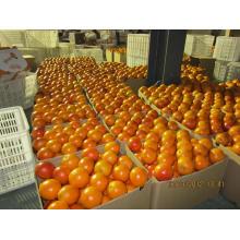 Navel Orange Stock