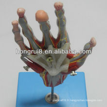Muscles de main de l'ISO avec des navires et nerfs principaux, modèle manuel d'anatomie