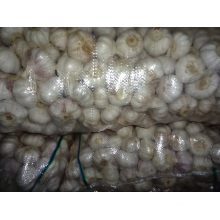 Exportation Ail Blanc Normal