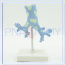 PNT-0751 Trachea Bronchi model for medical use