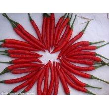 Exportation Bonne qualité Chili chinois frais
