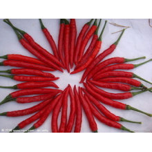 Export gute Qualität frische chinesische Chilli