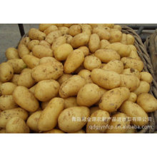 Top Quality New Crop Fresh Potato (150g and up)