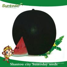 Suntoday high times à vendre balck round légumes hybride F1 acheter heriloom planteur en ligne sudan Organic pastèque graines (11005)