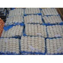 Shandong weißer Knoblauch