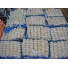Shandong White Garlic