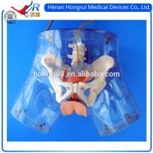 Modelo de cateterismo uretral feminino de alta qualidade ISO