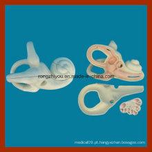Modelo de dissecção de ouvido interno ampliado para o ensino médico