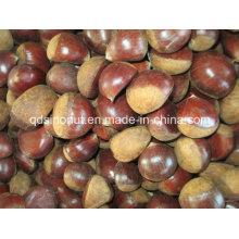 2015 Select Fresh Chestnut (40-50)