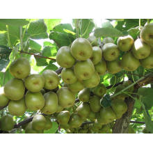Fresh Green Kiwi Fruit - 2013
