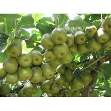 Fruta fresca do quivi verde - 2013
