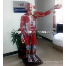 ISO170-cm Modelo de músculos do corpo completo com órgãos internos, modelo de anatomia muscular