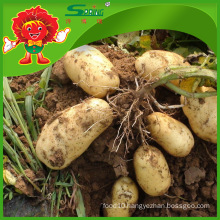 high quality fresh potato 2016 hot sale organic planting cheap factory price supply potatoes