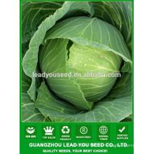 NC53 Низи Ф1 круглой формы большой плод китайской капусты семена поставщик