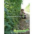 Suntoday vegetal variadas mudas de vegetais vegetal colheitadeira hs código F1 Orgânicos verde feijão de corda longo estaleiro sementes de feijão (41001)