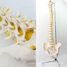 SPINE10 (12382) Modèle anatomique de science médicale de qualité, colonne vertébrale grandeur nature avec bassin