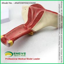 VERKAUFEN Sie 12444 Anatomisches Modell Weibliche innere genitale Organe Anatomisches Modell