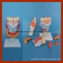 Modelo médico de laringe anatômico humano (7 PCS)