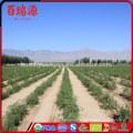 100% organic goji berryfresh goji berries original goji juice good for health