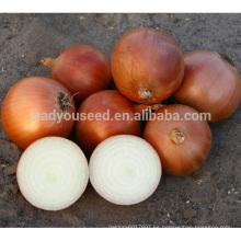 ON03 semillas de cebolla de maduración media de Huangjin Huangjin a la venta