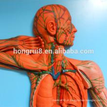 Modelo de sistema vascular ISO, modelo anatômico do sistema linfático