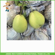 Buena Qulity Fresh Shandong exportación de pera a la India