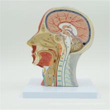 China professional customized human anatomy brain model