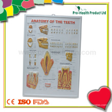 Tableau anatomique dentaire de l'anatomie 3D