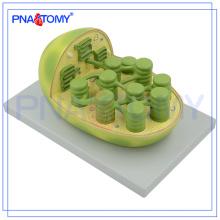 PNT-0837 Modelo de planta estudante de educação biológica ensinar modelo anatômico de cloroplasto