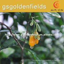 2017 hot sell yellow Gojierry Seedlings