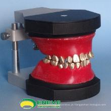 VENDER 12565 Dental Ortodontia Dentes Modelo Typodont