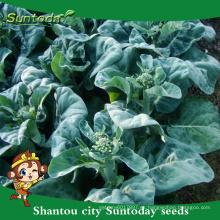 Suntoday plantones de hortalizas surtidas F1 kale kailan Mostaza repollo semillas de salud semillas de aceite de semillas negras a la venta (35002)