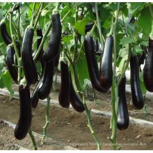 HE19 Fusong sementes de berinjela híbridas pretas