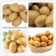 Hochwertige Holland 15 frische Kartoffeln