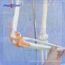 Best-selling PNT-0107 human life size skeleton model
