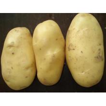 2015new Excellent Big Fresh Potato